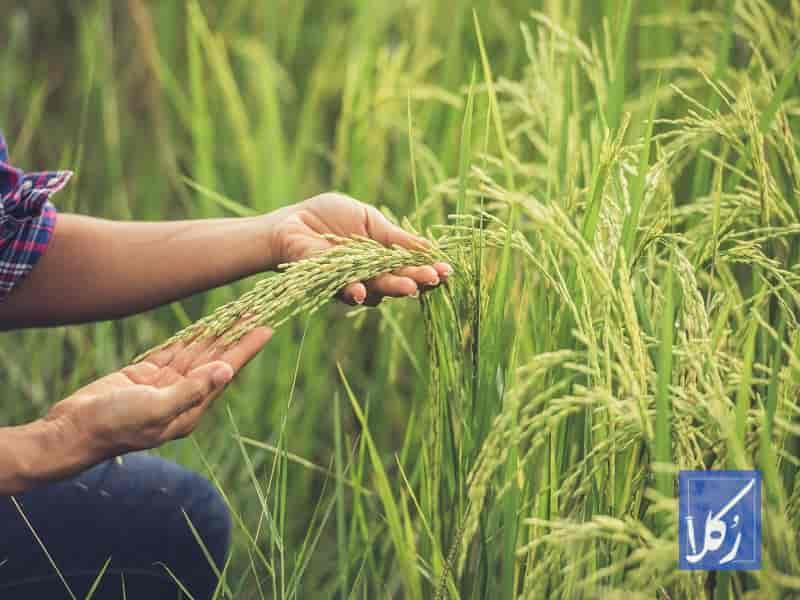 قرارداد فروش برنج