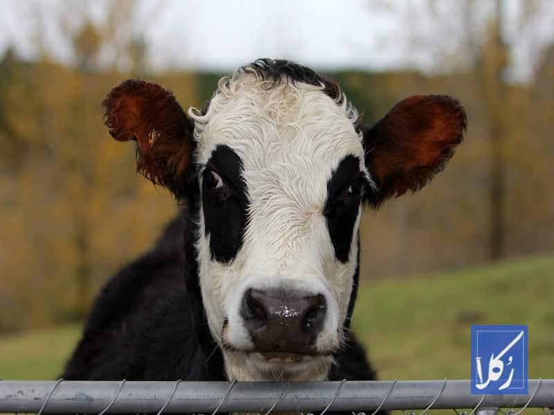 قرارداد فروش گاو